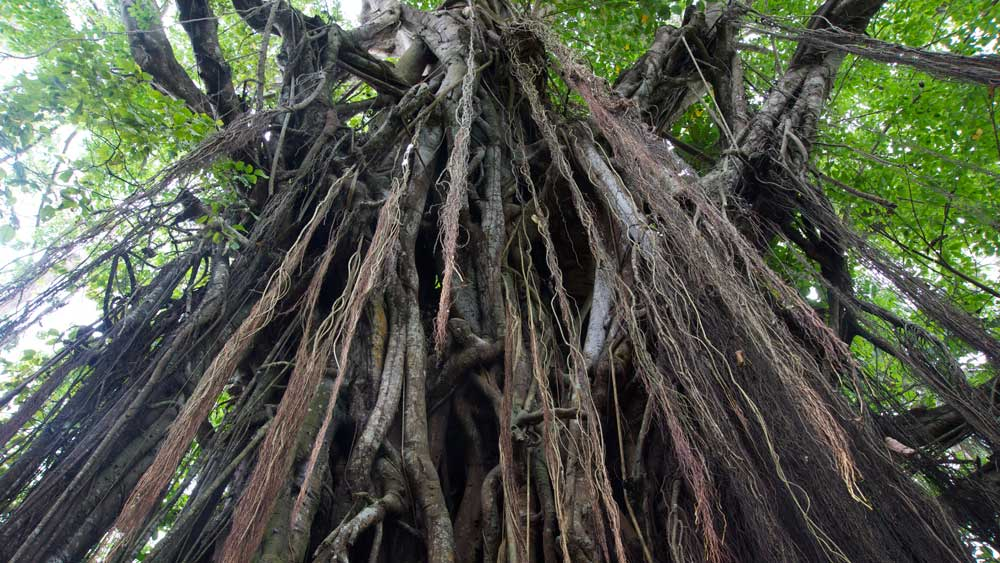 Down The Roots Of Mystical And Sacred Trees In Philippine